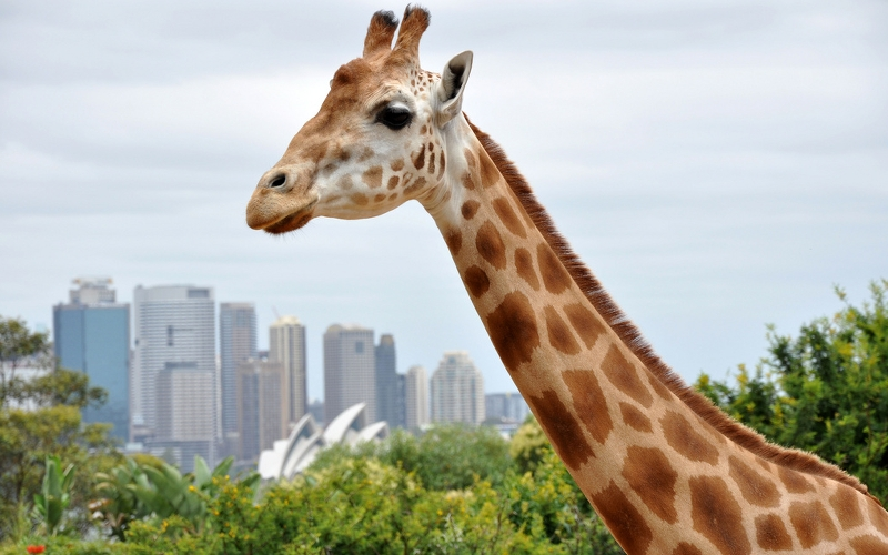 roar and snore at taronga zoo sydney