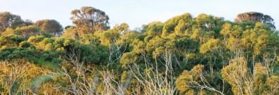 Native trees Australia