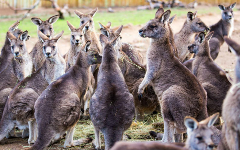 Bonorong Wildlife Sanctuary, Tasmania, Australia