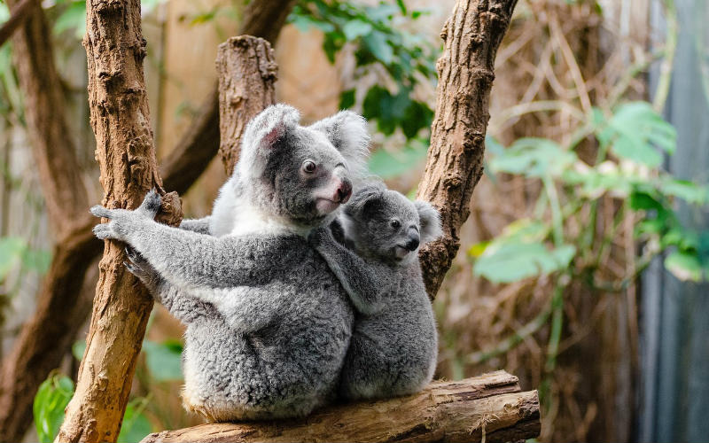koala with baby in tree