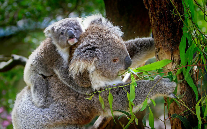 koala in tree with baby