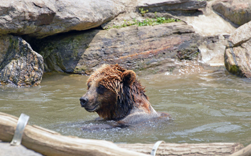 Brown Bear at Bronx Zoo, United States of America