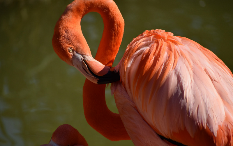 Flamingo at San Diego Zoo, United States of America