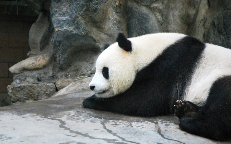 Giant Panda at Beijing Zoo, China