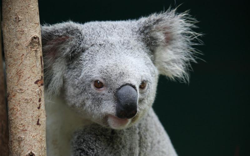 Koala at Australia Zoo, Australia