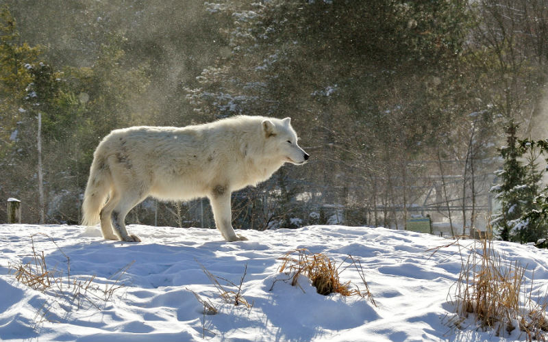 White Wolf at Toronto Zoo, Canada