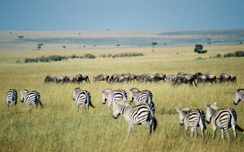 Zebra wildebeest Africa safari