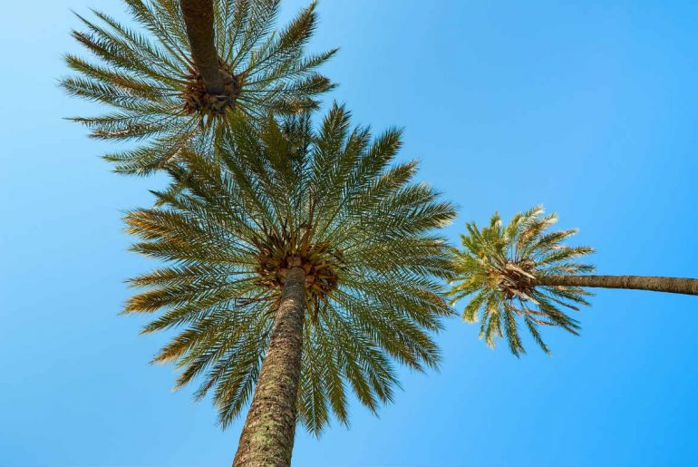 palm tree Fiji