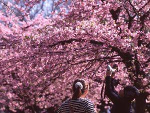 Cherry Blossom Trees Tokyo Japan