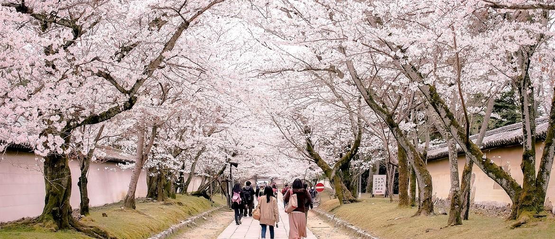 Cherry Blossom Festival San Francisco 2020.A Guide To Cherry Blossom Season Cherry Blossom Festival