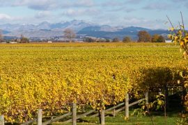 Marlborough-Vineyard-South-Island-New-Zealand