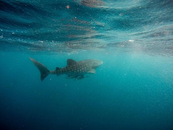 Whale-Shark-Swimming-Ningaloo-Coast-Western-Australia
