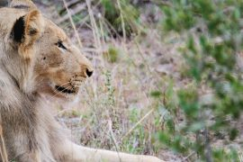 Lion-Kruger-National-Park-Safari-Packing-Tips-Webjet