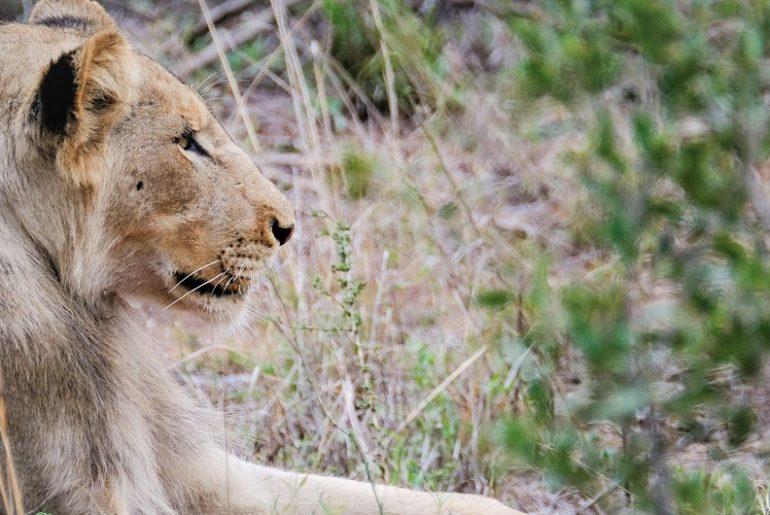 Lion-Kruger-National-Park-Safari-Packing-Tips-Webjet