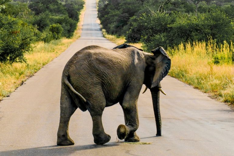 Elephant-Safari-Kruger-National-Park