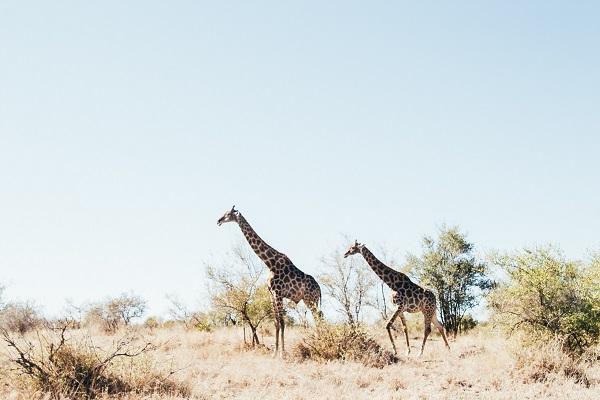 Giraffes-Kruger-National-Park